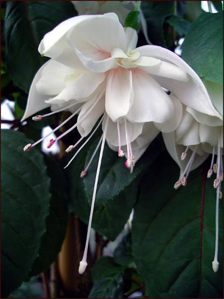 Fuchsia catalogue w tube and sepals white with pink tips corolla white very large blooms of good substance grows lax bush a fuchsia for those who like big doubles mightylinksfo